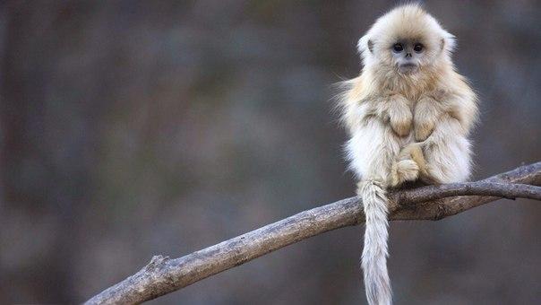 Танцующая обезьяна